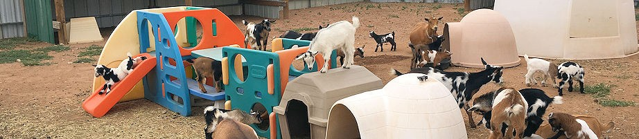 Nigerian Dwarf Goats Farm